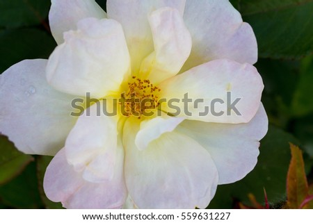 "Pastel cream color flower of ""Sunny knock out"""