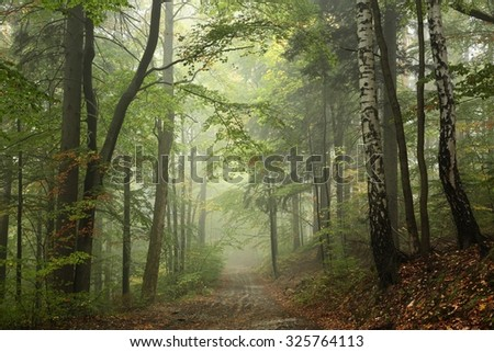 Path through the beech forest in foggy weather.