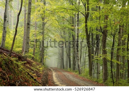 Path through the beech forest on a misty autumn weather.