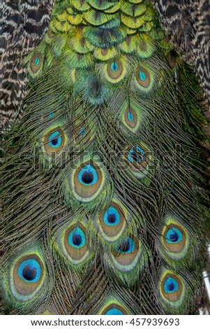Peacock body feathers , beautiful bird feathers background