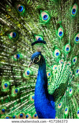 Peacock close-up