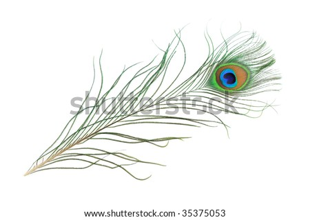 Peacock feather in isolated white background