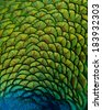 Peacock feathers. - stock photo
