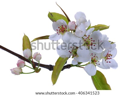 Pear flower in full bloom