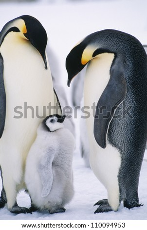 Penguins with chick standing on snow