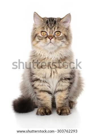 Persian cat. Portrait on white background