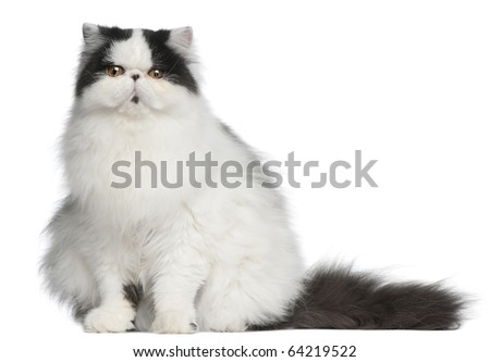 Persian Harlequin cat, 6 months old, sitting in front of white background