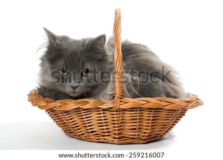 Persian kitten in a basket ,  isolated on white