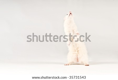 Pet ferret isolated over white background