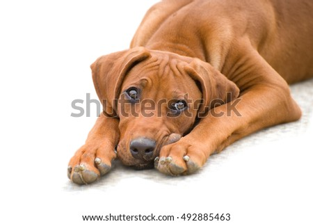 Pet motive: closeup of young Young rhodesian ridgeback puppy lying on the floor, looking up sadly isolated on white background. Purebreed dog portrait