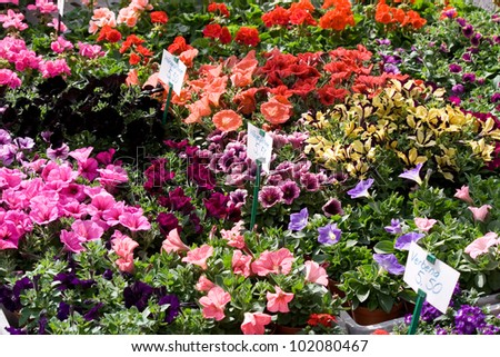 Petunia of different colors. Flower market