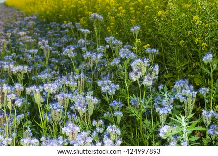Phacelia and oilseed rape agricultural fields flowering at summertime