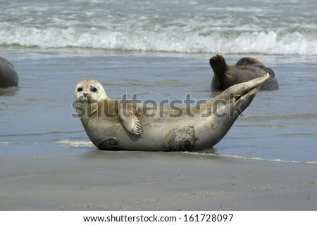 Phoca vitulina, Harbour Seal