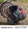 Photo of a rare breed turkey. - stock photo
