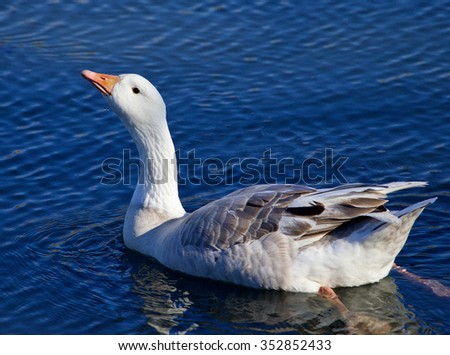 Photo of the Snow goose drinking water from the lake