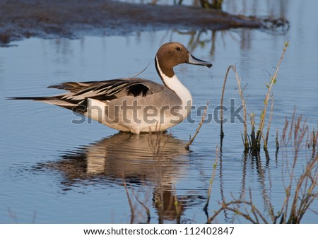 Photograph of a beautiful Northern Pintail duck standing and wonderfully reflected in the shallow waters of a gulf coast wetland in South Texas.