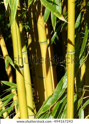 Phyllostachys aureosulcata, the yellow groove bamboo. Poacea family