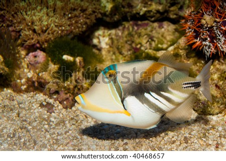 Picasso triggerfish teeth