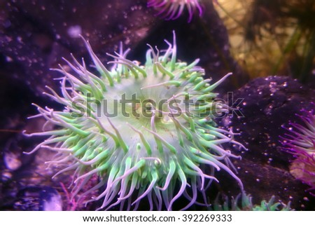Picture of a pink-tipped green anemone, at the Ucluelet Aquarium,Bc,Canada.