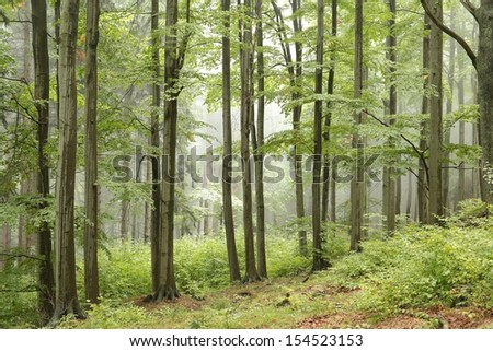 Picturesque beech forest.