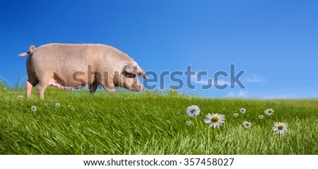 Pig on green field