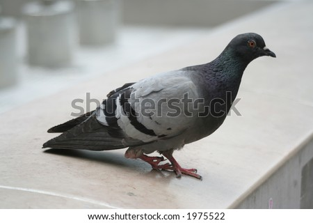 Pigeon with a broken leg