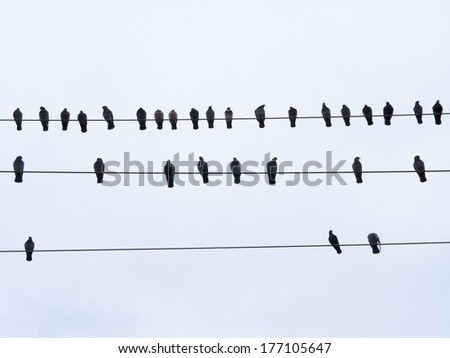 Pigeons sitting on electrical wires and clear sky