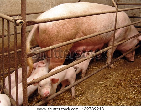 piglets in a barn