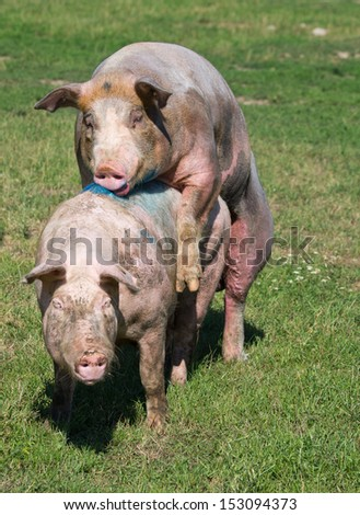 Pigs mating on farm - stock photo