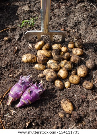 pile of potatoes  and kohlrabi freshly harvested from a kitchen garden and garden fork with rich dark garden soil