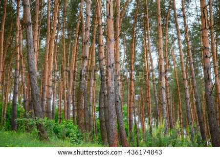 pine forest, blue sky, sunny summer day