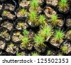 Pine tree nursery for reforestation - stock photo