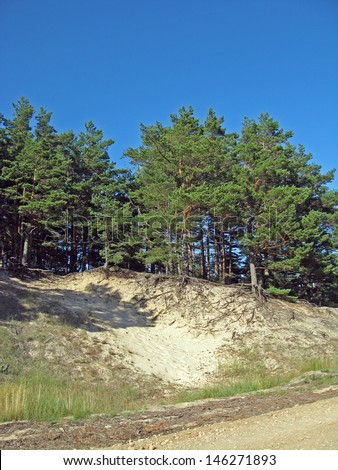 Pine trees growing on the sand dune