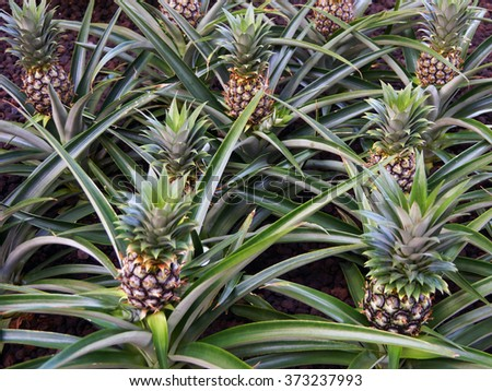 Pineapples growing in field
