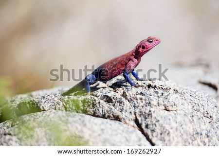 Pink and blue gecko in Serengeti, Tanzania Africa.