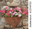 pink and white petunias on wall, Italy - stock photo
