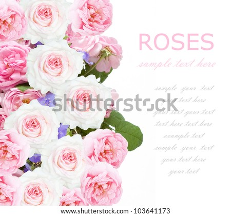 Pink and white roses background isolated on white with sample text