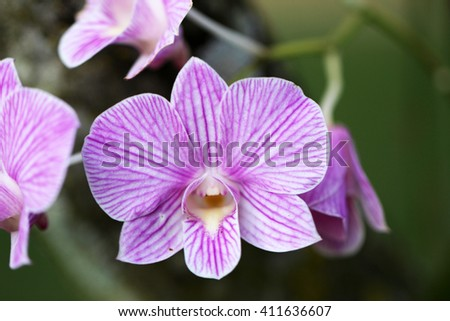 Pink and White Striped Phalaenopsis Orchid