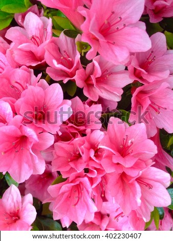 Pink azaleas flowers in the park