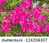 Pink bougainvillea flower. - stock photo