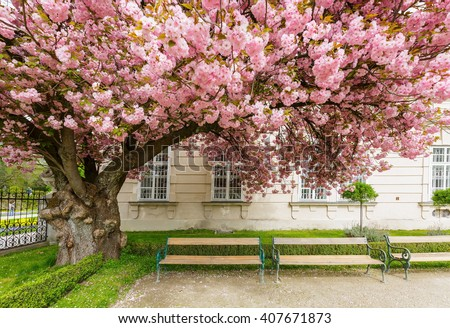 Pink cherry blossom on big tree in garden, springtime