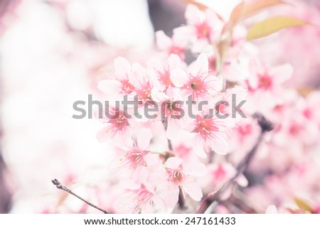 Pink cherry blossom (Wild Himalayan Cherry) look for a retro vintage