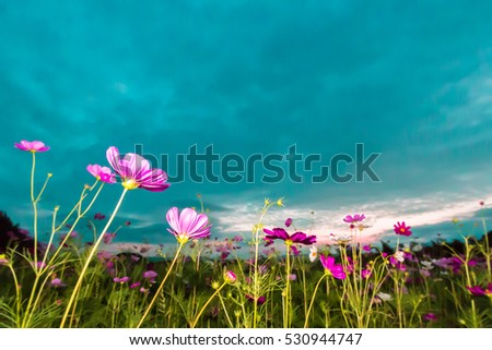 Pink cosmos on field in twilight time