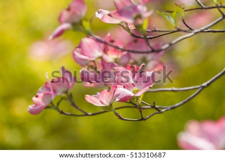 Pink dogwood blossoms against a pretty spring background.