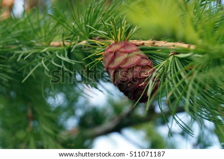 Pink fir-cone on a branch with green needles on a tree on a summer day