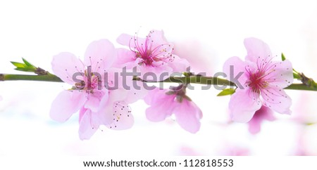 Pink flowers blossoming tree branch