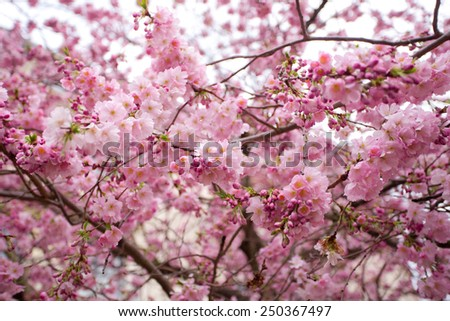 Pink flowers of sakura at spring time
