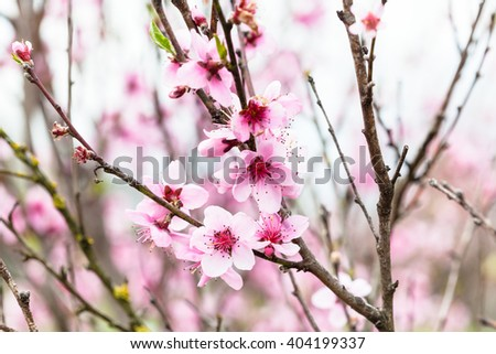 pink flowers on peach tree in cold spring day