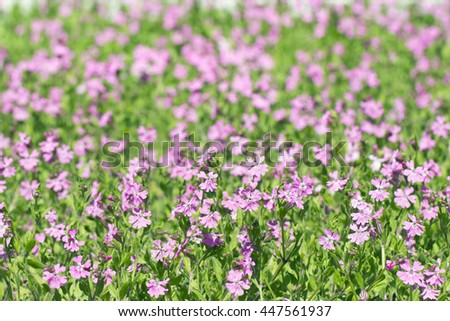 pink flowers tar Silene Pendula colorful flowerbed on a sunny spring background