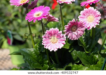 Pink Gerbera Daisies with blurred background.